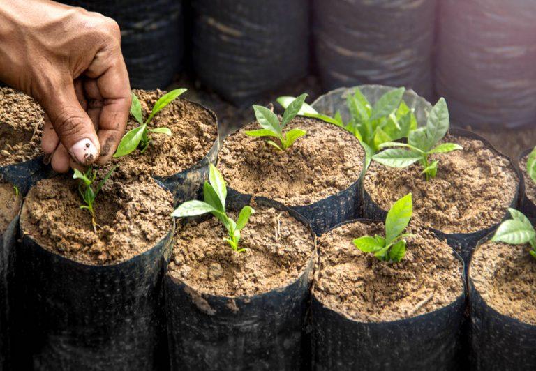 NESCAFÉ para la cosecha de café, cuenta con la semilla mejorada